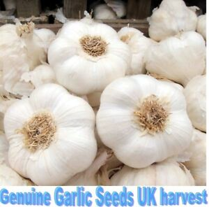 50 Cloves Of Garlic For Planting/seeds/bulbs Solent Wight Hardy **UK SELLER**