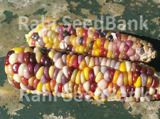 Corn Sweet Touch - A Rare, Stunning Multicoloured Corn Variety!!!