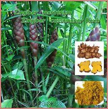 3.5 oz Zingiber montanum Cassumunar ginger Plai Powder anti-inflammatory Sport