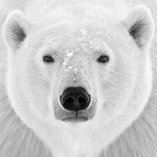 BEAUTIFUL POLAR BEAR FACE POSTER black and white arctic mammal 24x24 art print