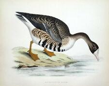 WHITE FRONTED GOOSE, Beverley Morris original antique bird print 1855