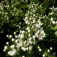 Eingriffeliger Weißdorn Hagedorn 15 Samen  Crataeugus Monogyna
