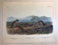 Audubon Quadruped Large Folio Rats Arvicola Bank Rat 1848