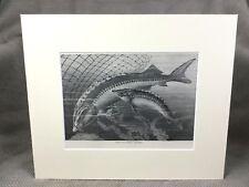 Antique Engraved Print Ca. 1894 Giant Sturgeon Fish Marine Art Sea Life