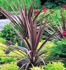 Cordyline australis Red Sensation Starter Plant FREE SHIP