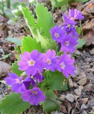 Alpine Primroses : 50 Seeds : Small European Hybrids : Mixed Colours : Primula