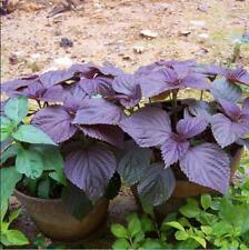 100 pcs Purple Perilla Beefsteak Plant (Perilla Frutescens) Chinese Herb seeds