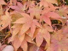20 TSUKUBANE JAPANESE MAPLE SEEDS Acer palmatum /'Tsukubane/'
