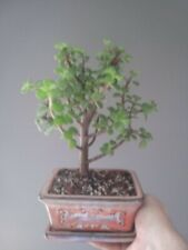 "Healthy & Full Elephant Jade � Bonsai in 6"" orange glazed pot w/attached tray"