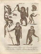 1797 GEORGIAN PRINT ~ SIMIAE APES GIBBON ORANGUTAN PYGMY SATYRUS