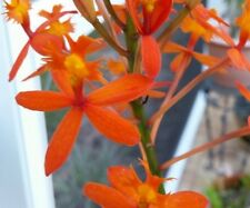 2 Orange Epidendrum Orchids rooted cutting; Freshly cut from Mother plant