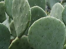 Spineless Thornless Edible Nopales Prickly Pear Cactus, 4 Winter-Resistant Pads