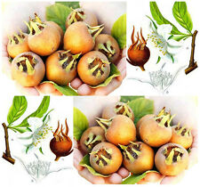 (20) Medlar Fruit Seeds - Showy Mespilus - Mespilus germanica- Combined S&H