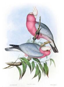 Vintage John Gould Australian Bird Art CANVAS PRINT~ GALAH parrot poster A3