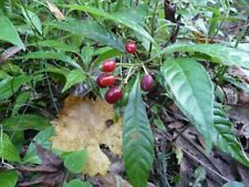 Wild Coffee Seeds (Psychotria nervosa) 40 Seeds - Native Florida Shrub
