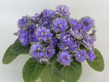 ☘ LE-GOLUBOY LOTOS ☘ BLUE LOTUS ☘ African Violet Plant ☘ Starter Plug Ukrainian