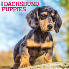 Just Dachshund Puppies(dog breed calendar) 2021 Wall Calendar (Free Shipping)