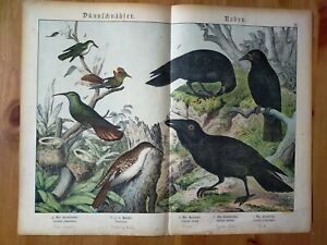 19th Century Hand Coloured Antique Lithograph Of Birds