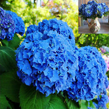10pcs Rare Blue Hydrangea Decor Flower Seeds Easy To Plant Ideal Garden Present