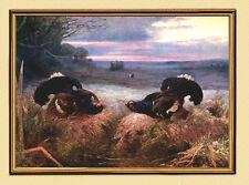 Immagine caccia Birkhahn Balz Birkhuhn accoppiamento su tela 529 L nel quadro oro
