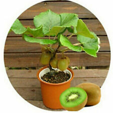 Plant Seed Edible Kiwi Fruit Sweet and Source Green Fruit Full Nutrition 100pcs