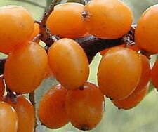 Seaberry buckthorn berry fruit plant small tree big shrub Hardy LIVE PLANT