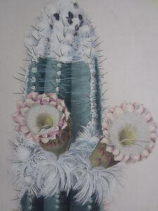 SCHUMANN: Iconographia Cactacearum Cactus Folio Pilocereus Houlletii - 1904