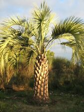 Butia Odorata (Capitata) Hardy Jelly Palm Tree 10 x Tropical Seeds