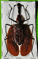 Giant Violin Beetle, Banjo Beetle Mormolyce phyllodes 80-85mm FAST FROM USA