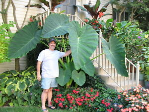 7 LIVE BULBS Colocasia gigantea Thailand Giant Thai Giant Elephant Ear Huge Leaf