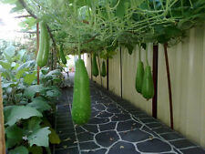 Bottle Gourd, Long Melon, Calabash, Lauki - 6 Seeds