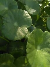 Pennywort at least 25 rooted stems ! Organic Grown Aquatic Pond Bog Plant