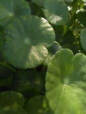 10  Pennywort Organic Grown Aquatic Pond Bog Plant