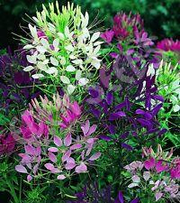 F0119 Cleome Four Queens Mix x50 seeds Showy Colour  Flower Garden