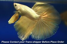 Gold male Halfmoon Tropical betta fish #B043/ 3.5 mo/body size 1.5''