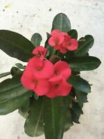 Euphorbia milii vulcanii - Red Flower - One Cutting 4-5 inch
