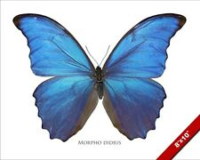 GIANT BLUE MORPHO DIDIUS MALE BUTTERFLY PHOTO ART REAL CANVAS GICLEE LARGEPRINT