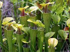 20 x Sarracenia Oreophila seeds, Green Pitcher plant