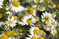 *Garten Pflanzen Samen winterharte Zierpflanze Saatgut Kräuter RÖMISCHER BERTRAM