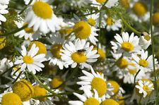 Garten Pflanzen Samen winterharte Zierpflanze Saatgut Kräuter RÖMISCHER BERTRAM