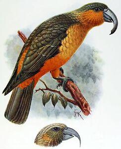 John Gould Native Bird print Norfolk Island KAKA  painting Vintage A3 Australia