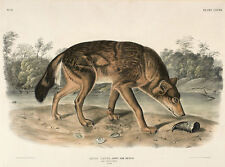 Red Texas Wolf, Canis Lupus John Woodhouse Audubon Tiere Wolf USA B A3 02696