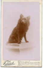 BLACK SPITZ DOG stand alone looking intently for his master antique CDV photo