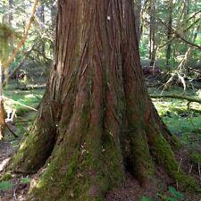 Western Red Cedar Tree Seeds (Thuja plicata) 50+Seeds