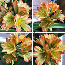 2 Amaryllis Usa Clivia Seeds Hattori Stripe Eliza (Japan) X Hattori Jane (Japan)