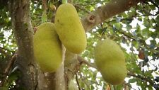 Jackfrucht Artocarpus heterophyllus Pflanze 5-10cm Jakobsfrucht Jackfruchtbaum
