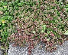 15 Cuttings EveRgReeN Sedum Album Perennial groundcover succulent White flower