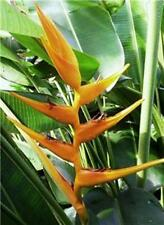 HELICONIA MEXICAN GOLD LIVE TROPICAL RHIZOME EXOTIC PLANT