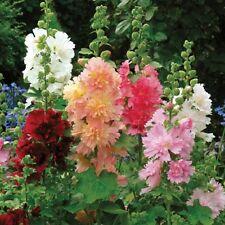 50+ HOLLYHOCK QUEENY MIX FLOWER SEEDS / ALCEA ROSEA / 20-24 inch