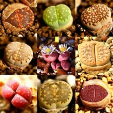 New listing 100 Lithops Seeds Rare Mixed Living Stones Succulent Cactus ~100 Seeds~✿